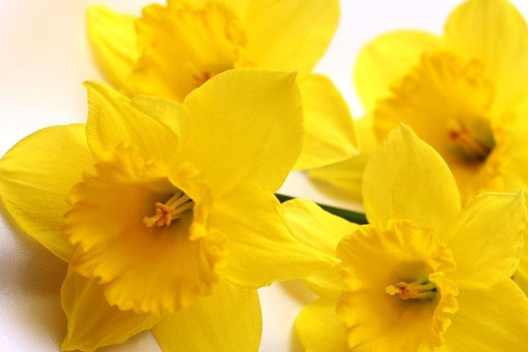 narcisi gialli fiore