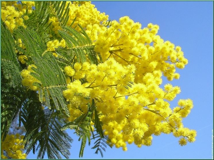 mimosa gialla donna