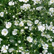 Fiori bianchi di Gypsophila paniculata