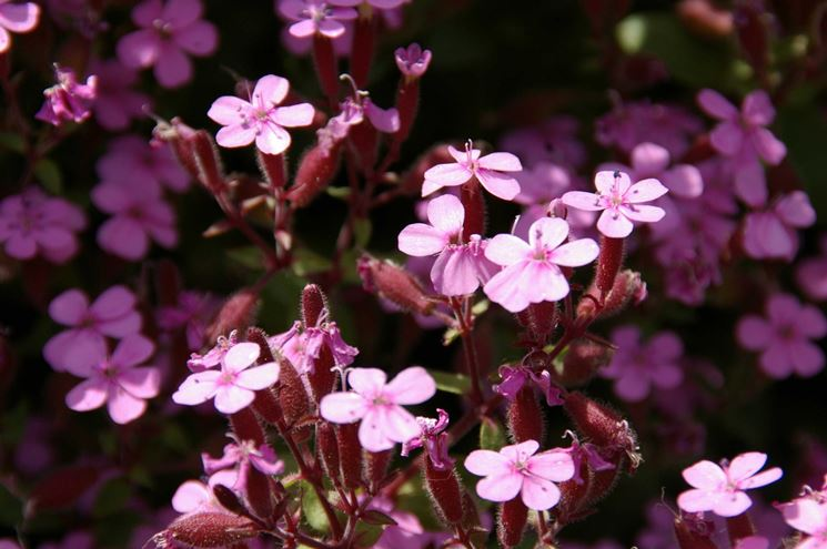 Fiori della pianta di Saponaria