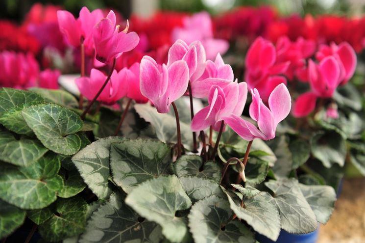 Fiori perenni piante perenni caratteristiche dei fiori for Fiori da balcone perenni