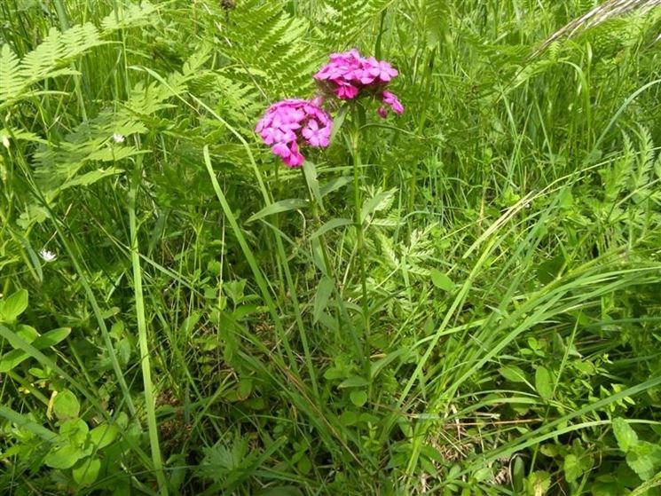 Una pianta di <em>garofano dei poeti</em> cresciuta spontaneamente in un campo