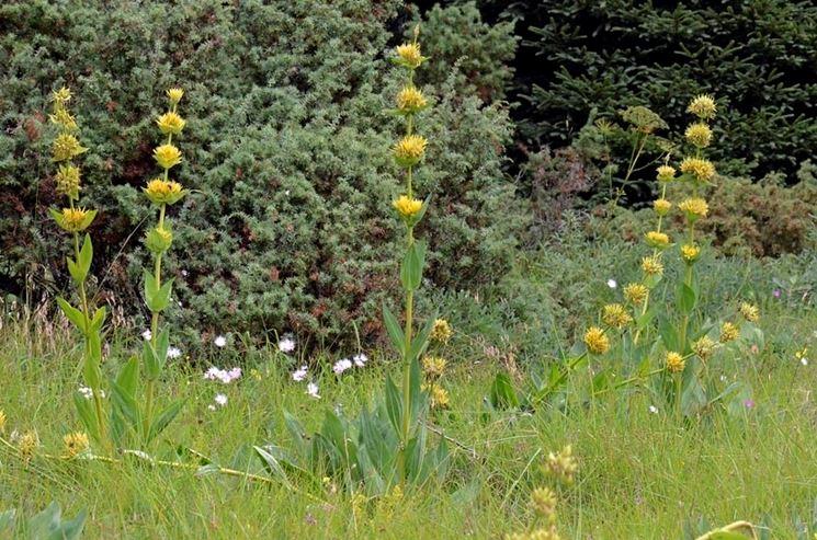 piante gentiana lutea