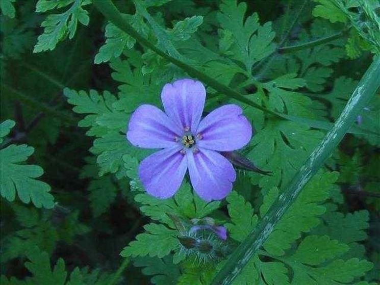 il fiore del geranio selvatico