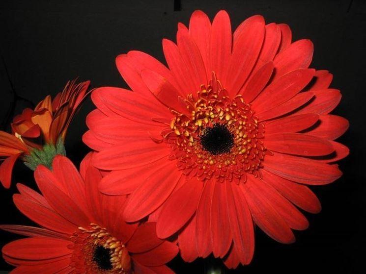 Gerbere rosse piante perenni gerbere rosse caratteristiche for Fiori gerbere