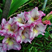 Pianta gladiolo fiorita