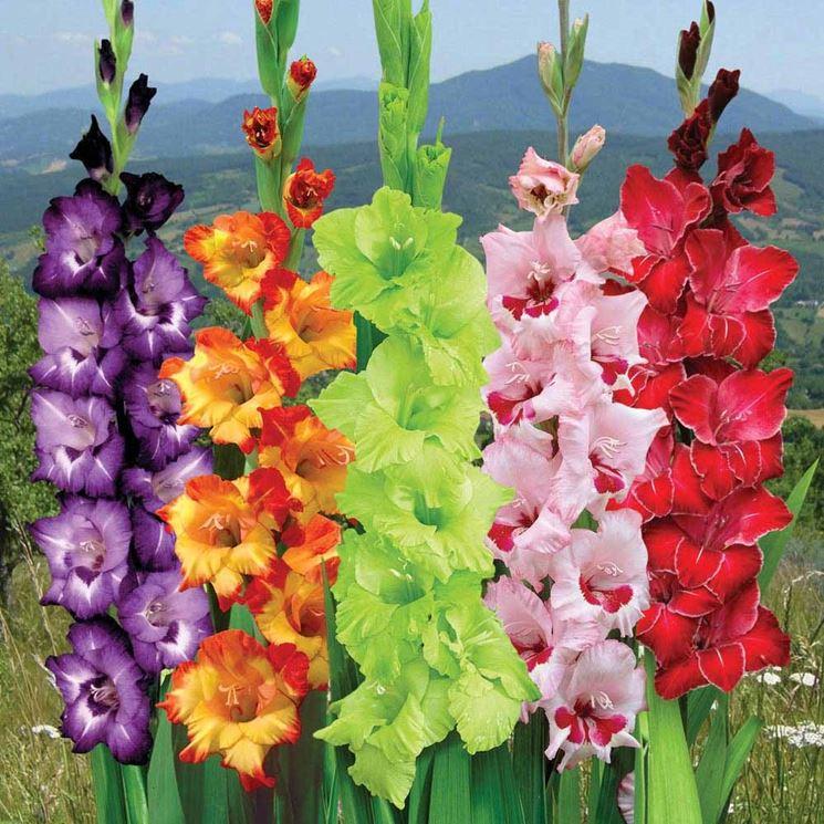 Gladioli varietà coltivate