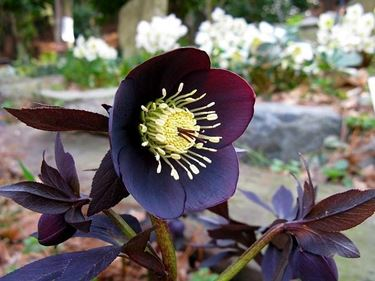 fiore a cinque petali