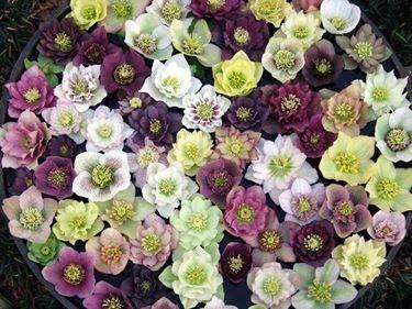 Un cesto di fiori di helleborus orientalis