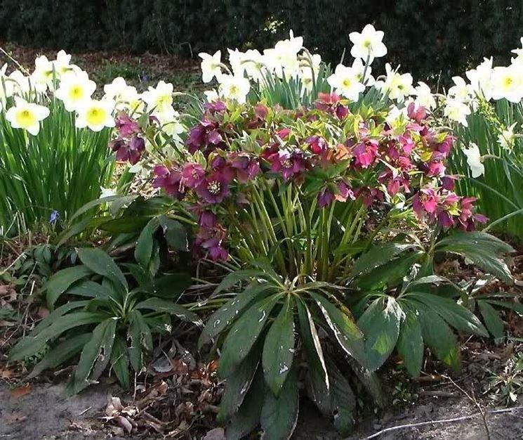 Piante di helleborus orientalis