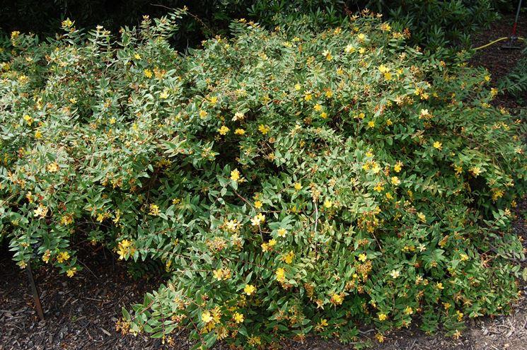 Un cespuglio di Hypericum beanii