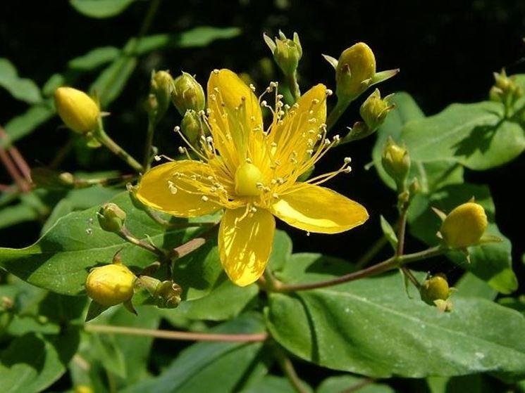 Un fiore giallo di Hypericum