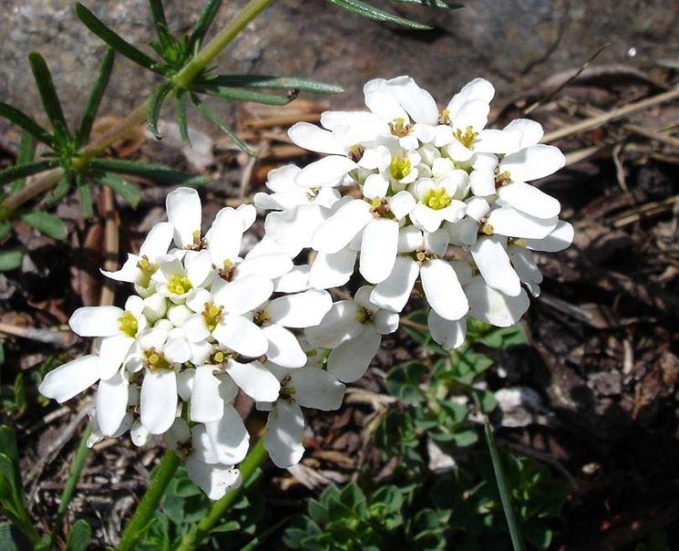Sempreverde fioritura