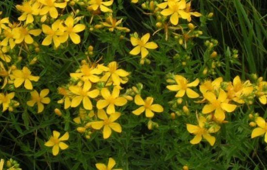 Iperico foto piante perenni iperico foto giardino for Fiori per balconi soleggiati