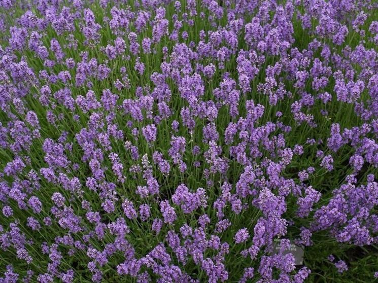 Lavanda angustifolia fiorita
