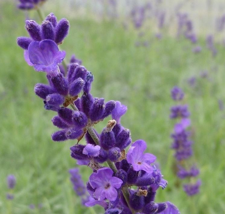 Il coloratissimo fiore della lavanda angustifolia