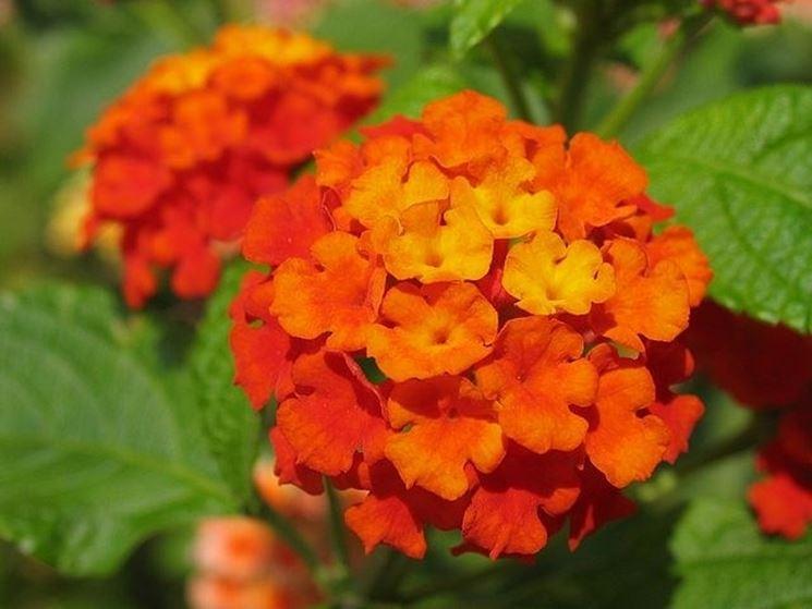 fiore lantana camara