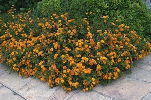 Lantana camara piante perenni lantana camara piante for Lantana strisciante