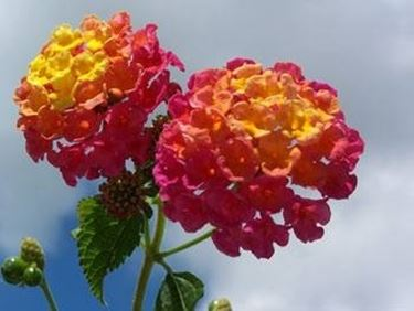 fiori lantana