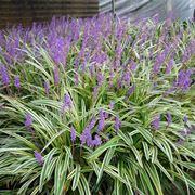 Cespugli in fiore di Liriope muscari Variegata