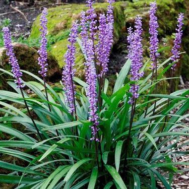 Infiorescenze delle piante di Liriope Royal Purple