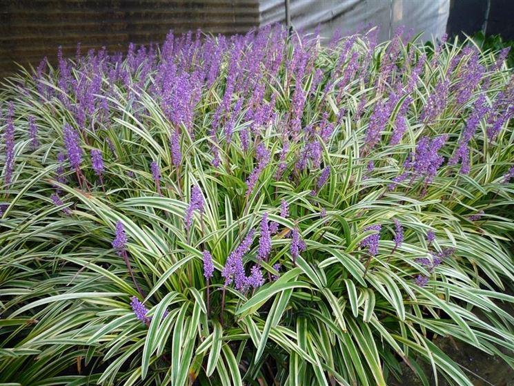 Liriope piante perenni liriope pianta perenne for Piante da esterno in vaso perenni