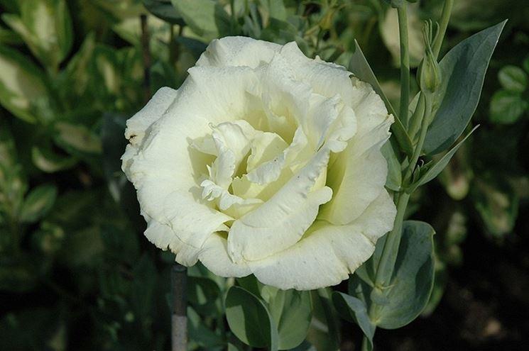 Fiore di Lisianthus Cinderella White