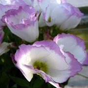 Fiori lisianthus