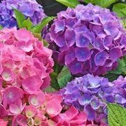 Ortensie viola e rosa