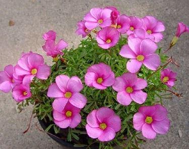 oxalis fiore del trifoglio
