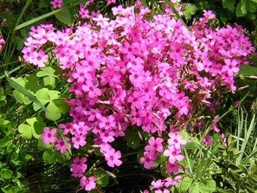 oxalis rosa