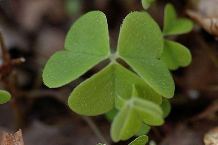 foglie di oxalis