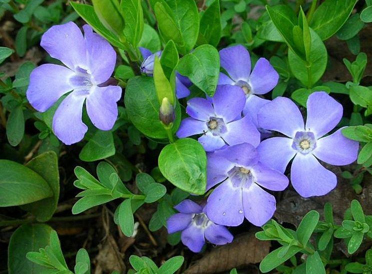 Pervinca colore piante perenni la pervinca e il suo colore for Piante giardino perenni