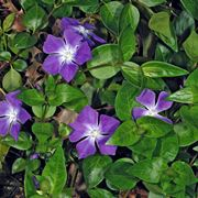 color pervinca