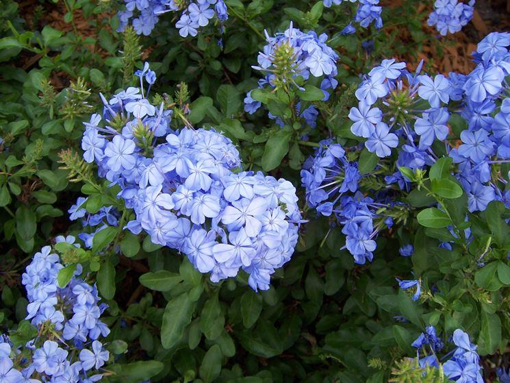 pervinca fiore piante perenni coltivazione pervinca
