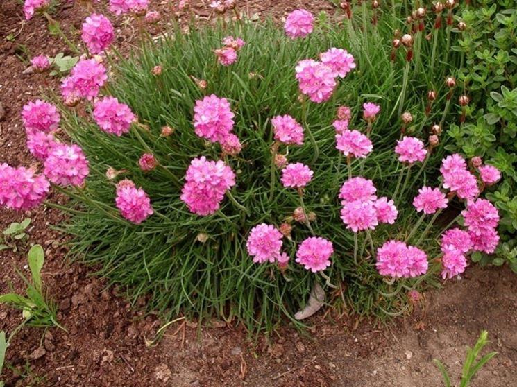 Cespuglio in fiore di Armeria