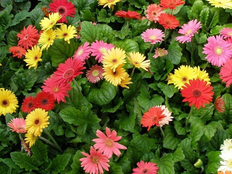 Piante e fiori di Gerbera