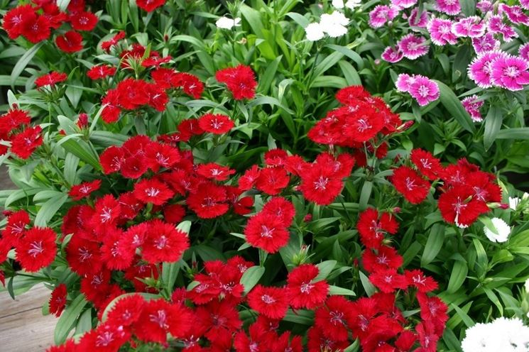 Piante in fiore di Garofani del poeta
