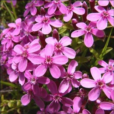 Fiori rosa di Saponaria