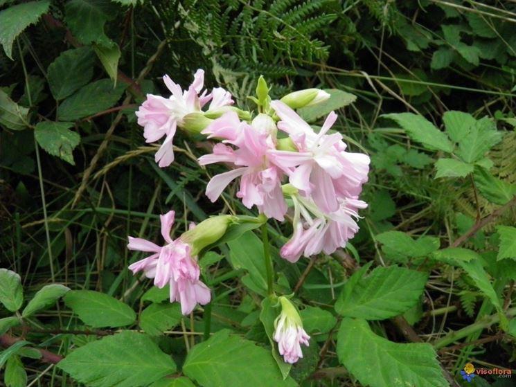 Fiori doppi e foglie di Saponaria