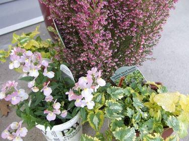 Perenni da fiore in vaso