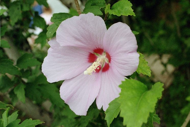 Un bellissimo fiore di Hibiscus