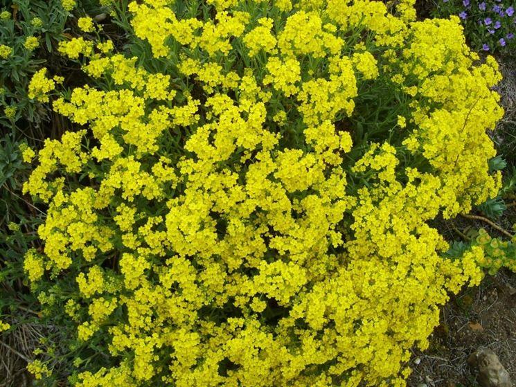 Arbusti fiori gialli primavera duylinh for - Fiori da giardino primavera estate ...