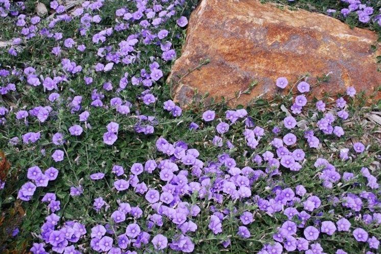 Pianta e fiori di Convolvolo