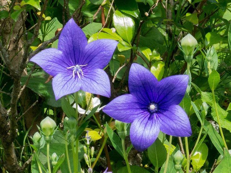 Fiore campanula grandiflora