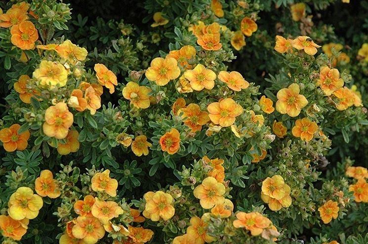 Foglie e fiori di Potentilla fruticosa