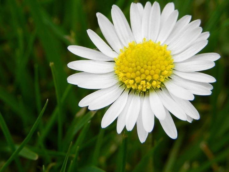 Fiore pratolina comune