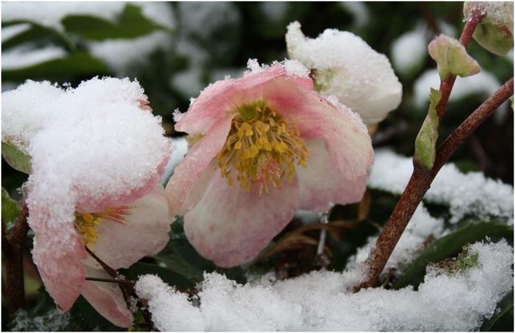 Rose di natale piante perenni caratteristiche delle for Elleboro bianco
