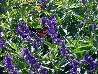 Salvia farinacea in piena fioritura