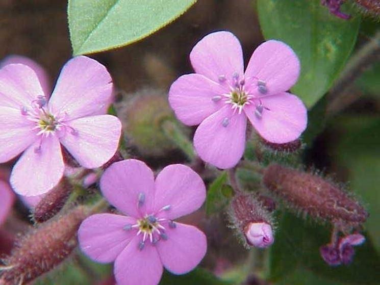 I fiori della saponaria